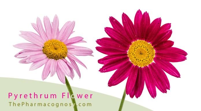 Pyrethrum Flower