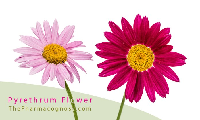 Pyrethrum Flower