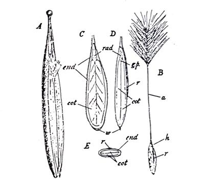 Strophanthus Seeds