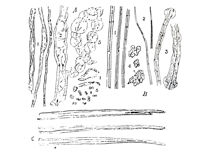 Macroscopical and microscopical characters