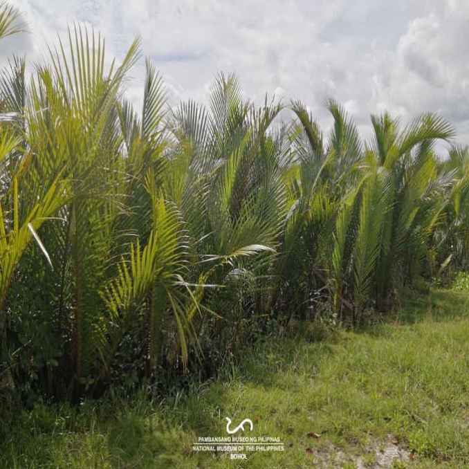 nipa palm in the philippines