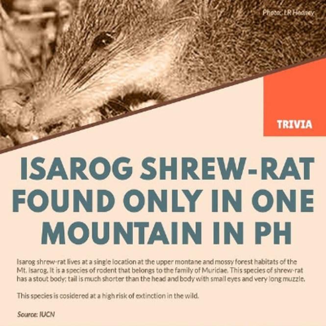isarog shrew-Rat