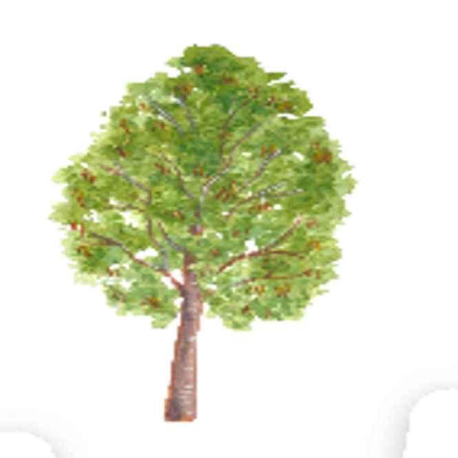 palosapis tree