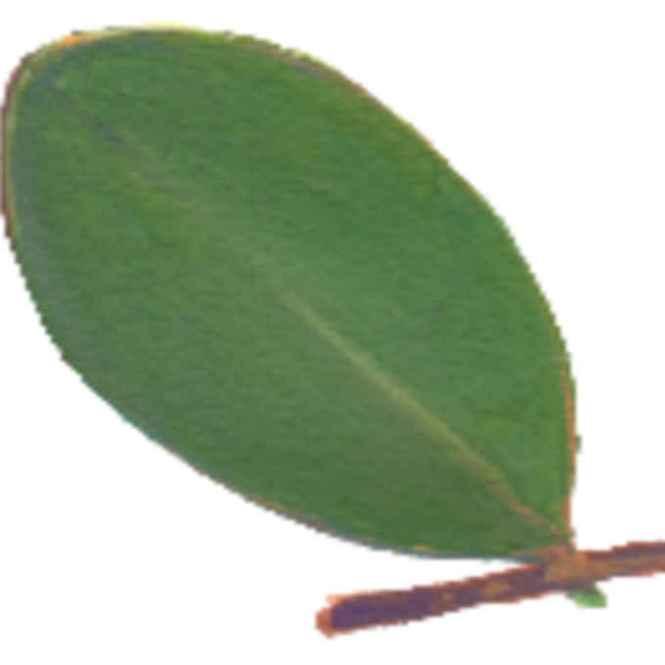 pedada leaves