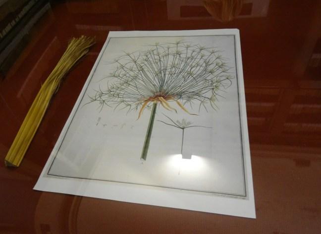 The papyrus plant