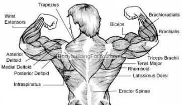 back, muscles, bodybuilding