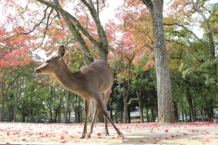 Deer Nara 1