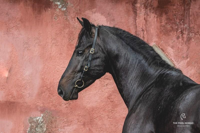 Napoletano horse