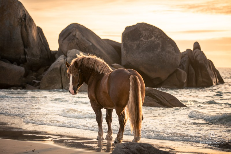Breton draft horse stallion on the beach