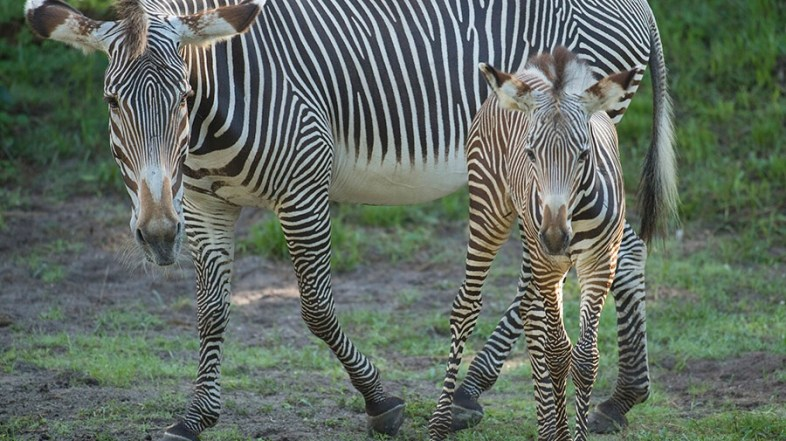 Welcome Two Baby Zebra Foals at Animal Kingdom