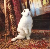 Check out Panchita, Short-Haired Cottontail, striking a pose for a photoshoot! - Photo Submitted by Lori Jimenez