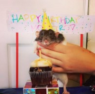 Monstro the pet rat celebrating his first birthday! Rats are fun too! - Photo Submitted by Joyce Ruiz