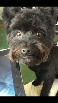 Who can say no to those little chocolate brown eyes? Tux, maltipoo/yorkie mix - Photo Submitted by Liliana Cahuas