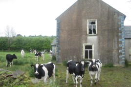 Some sheepish looking cows, caught red handed squatting an abandoned building.