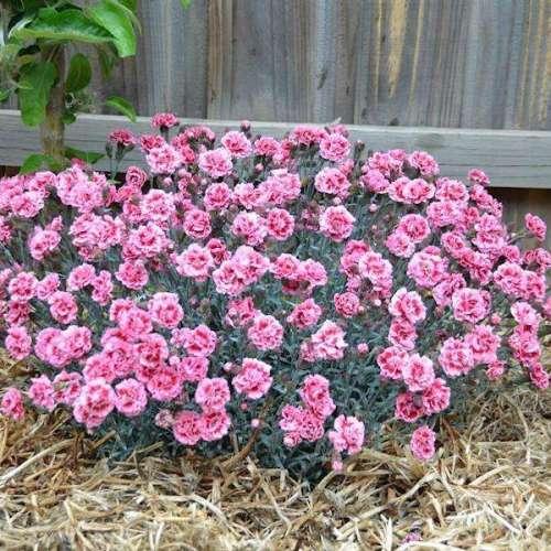 Dianthus - Sugar Plum