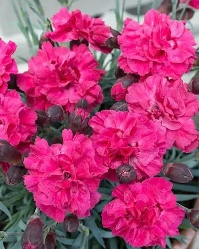 Dianthus - Sugar Plum Raspberry