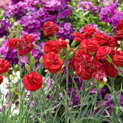 Dianthus - Passion