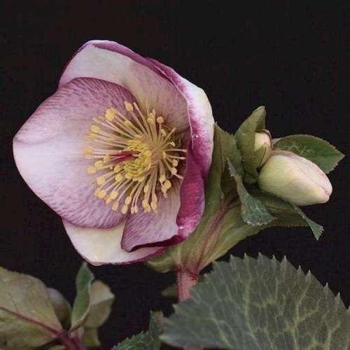 Helleborus - Sophie's Delight