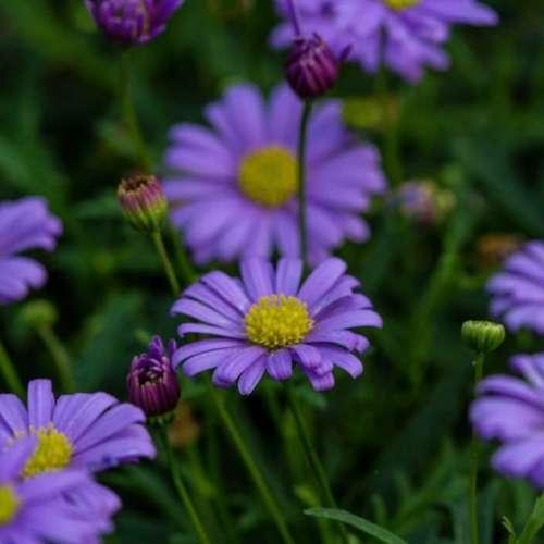 Brachyscome - Fresco Purple