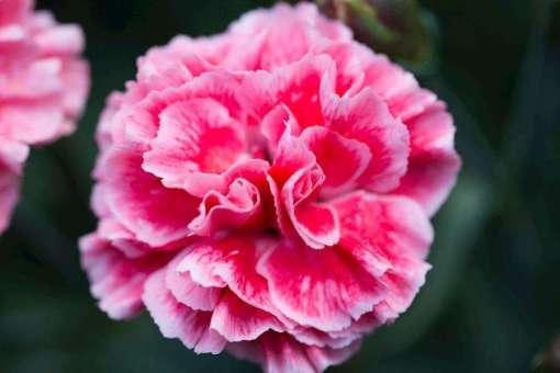 Dianthus - Sugar Plum Coral