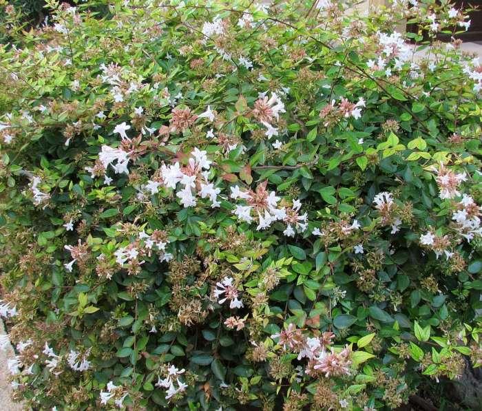 Abelia Grandiflora - Glossy Abelia