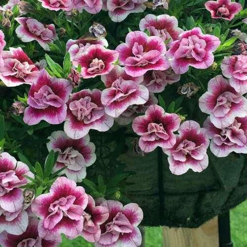 Calibrachoa - Double Pinktastic