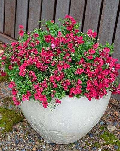 Diascia - Gardascia Raspberry