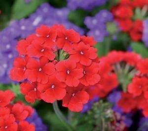 Verbena - Almira Scarlet