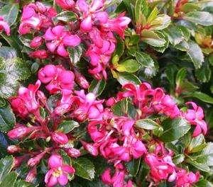 Escallonia - Pink Pixi
