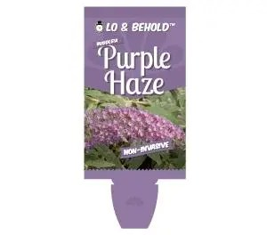 Buddleja - Purple Haze - Butterfly Bush