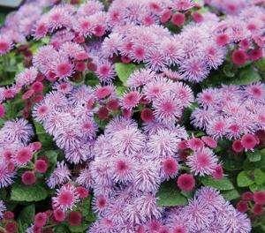 Ageratum - Ariella Violet - Foss Flower