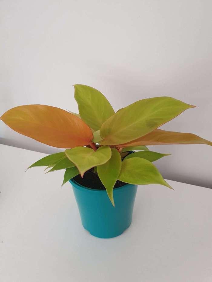 Philodendron Princess of Orange