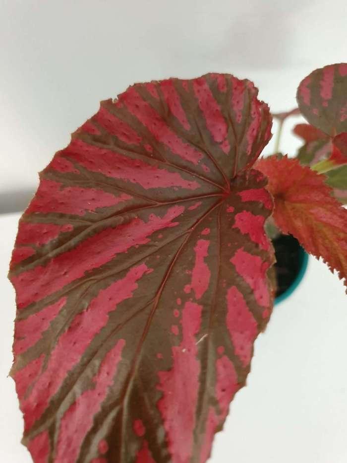 begonia exotica