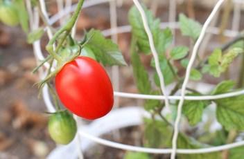 tomato-1695080_640