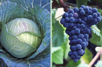 cabbage_grape