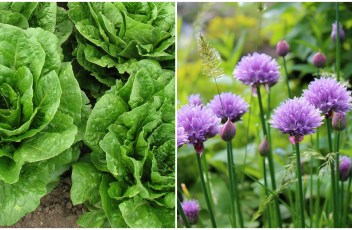 Chives or garlic and Lettuce