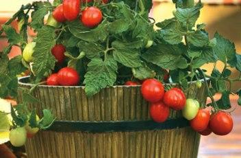 Container-Gardens-Tomato