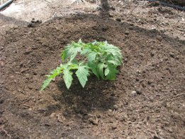 Properly Plant Tomato