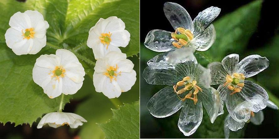 flower Diphylleia