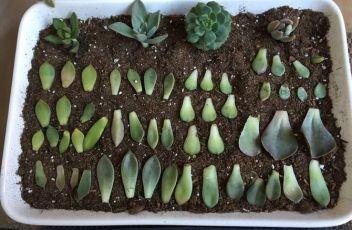 f305fd7ca29489cc31cdd6d2fe46fa88--planting-succulants-succulent-leaves