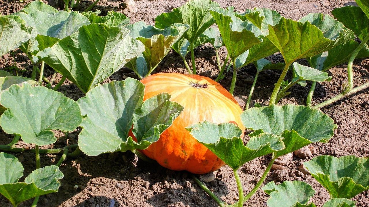 Companion Planting With Pumpkins
