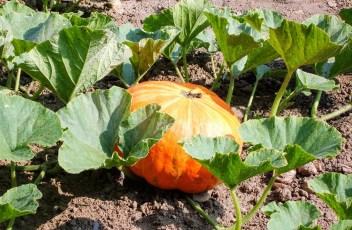pumpkin-2085597_1280