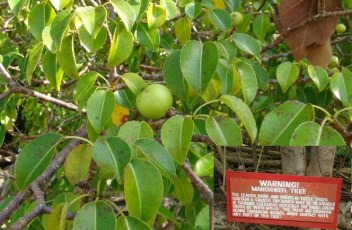 8-manchineel-trees-664x498