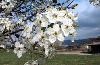 Bradford_pear_tree_blossoms