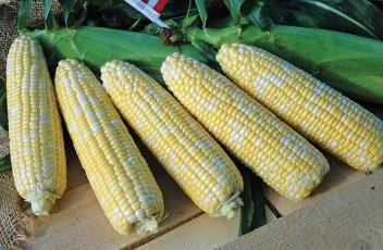 Corn-American-Dream