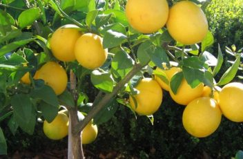 Dwarf-Meyer-Lemon-Tree