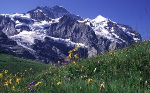 High Altitude Wild Flowers in the Swiss Jungfrau Mountains