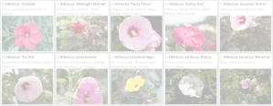 Hibiscus | Copyright 2016 The Plantium Company. | www.theplantium.com