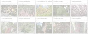 Prunus | Copyright 2016 The Plantium Company. | www.theplantium.co