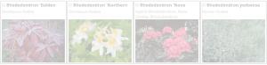 Rhododendron | Copyright 2016 The Plantium Company. | www.theplantium.com